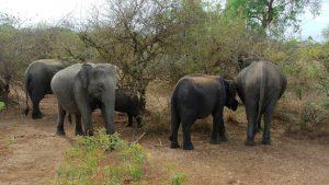 Yala National Park, credit: Adbar, cc3.0, wikipedia