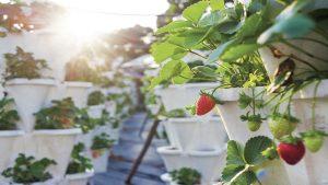 Strawberries at Le Méridien Mahabaleshwar Resort & Spa