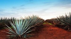 Agave in Jalisco