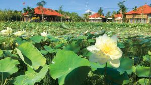 Lotus pond in Hoi An